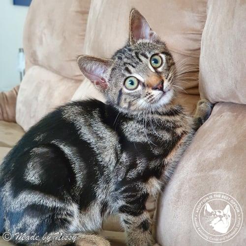Gregory - Domestic Short Hair Cat