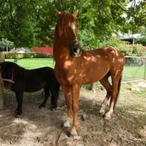 Kitchi & Cody Beautiful Bonded Duo -  Horse