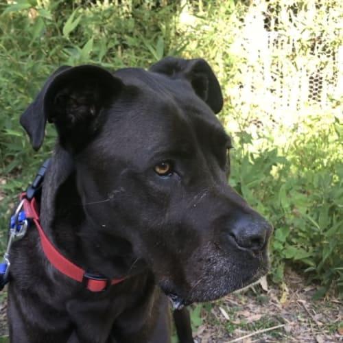 Lola ~ 6yo Great Dane x Mastiff  - Mastiff x Great Dane Dog