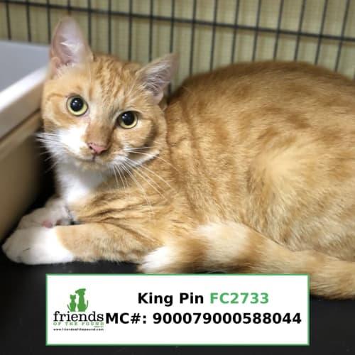 King Pin - Domestic Short Hair Cat