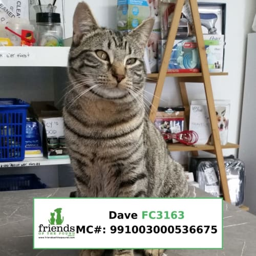 Dave - Domestic Short Hair Cat