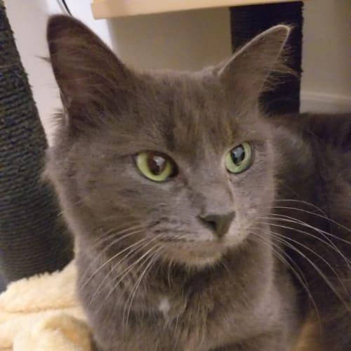 Sadi - Domestic Medium Hair Cat