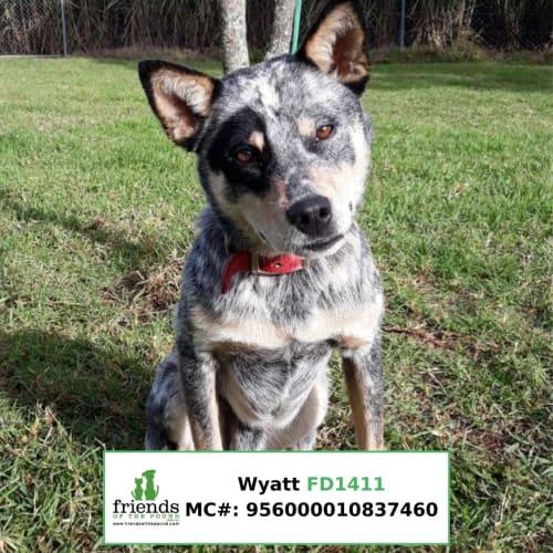 Wyatt - Blue Heeler Dog