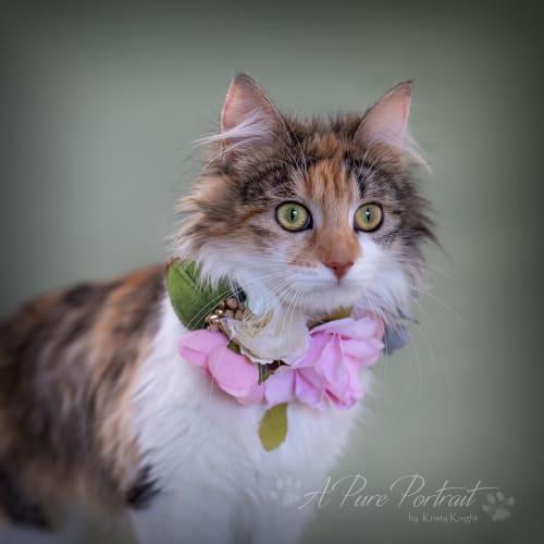 Honey  - Domestic Medium Hair Cat