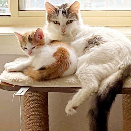 Moon  - Domestic Medium Hair Cat