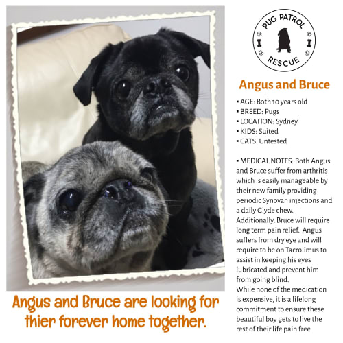 Angus and Bruce - Pug Dog