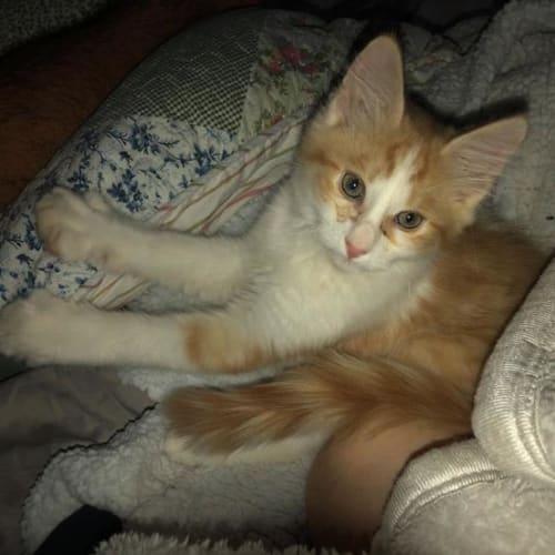 Romeo - Domestic Medium Hair Cat
