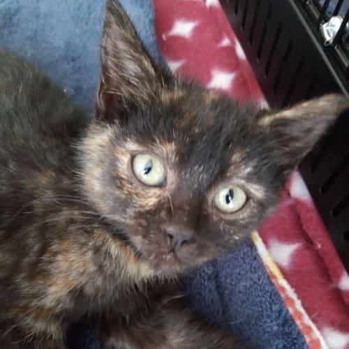 Bailey & Piper - Domestic Short Hair Cat