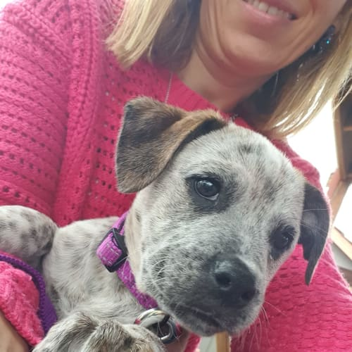 Puppy Spot DL2466 - Australian Cattle Dog x Mastiff Dog