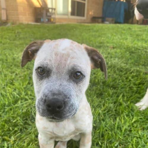 Puppy Affie DL2469 - Australian Cattle Dog x Mastiff Dog