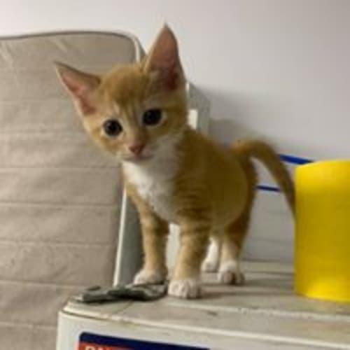 Juice - Domestic Short Hair Cat