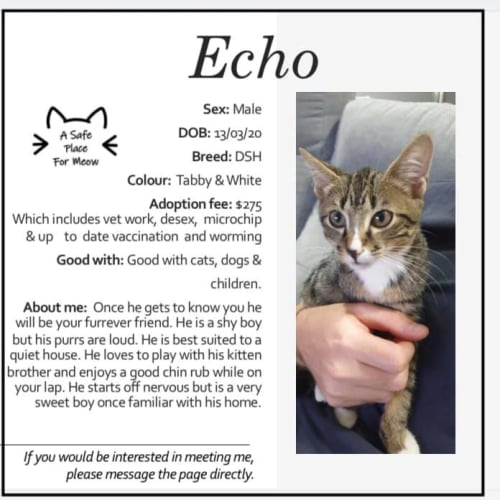 Echo - Domestic Short Hair Cat
