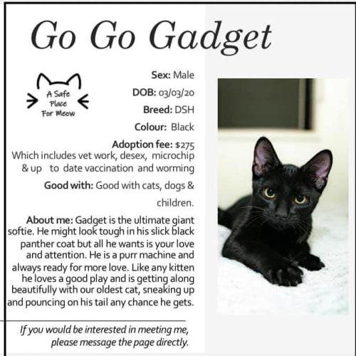 Gadget - Domestic Short Hair Cat