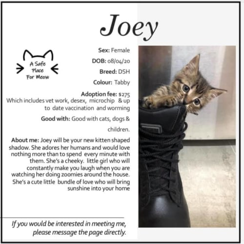 Joey - Domestic Short Hair Cat