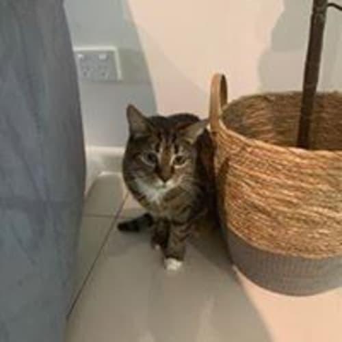 Tigga - Domestic Short Hair Cat