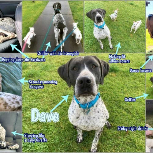 🐶🐾Dave🐾🐶 - Great Dane x Pointer Dog