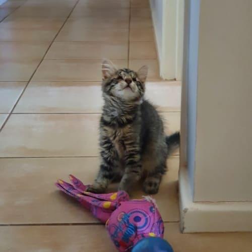 Hope - Domestic Short Hair Cat