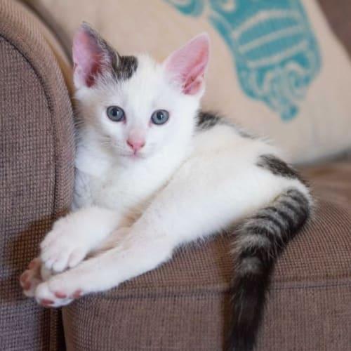 Kai - Domestic Short Hair Cat