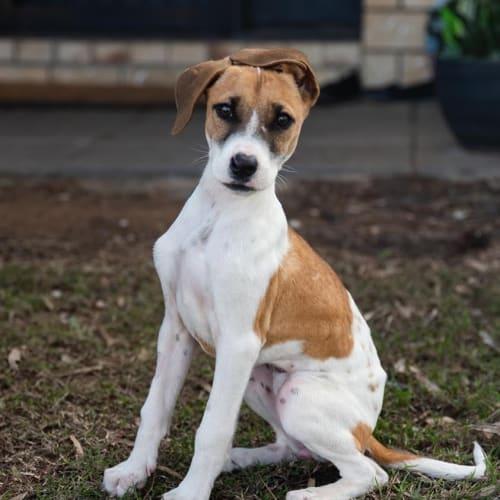 Lucy - Bull Arab Dog