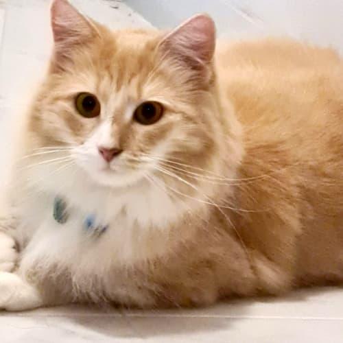 Lola - Domestic Long Hair Cat