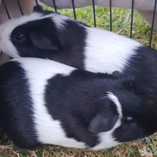 Lila  -  Guinea Pig