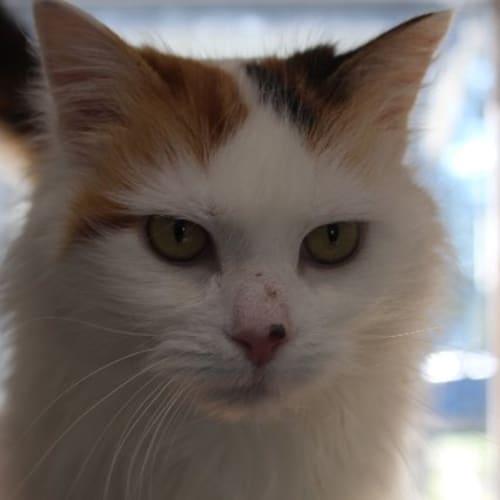 Misty - Domestic Medium Hair Cat