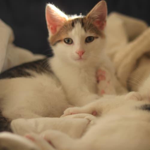 Mabel and Dipper - Domestic Short Hair Cat