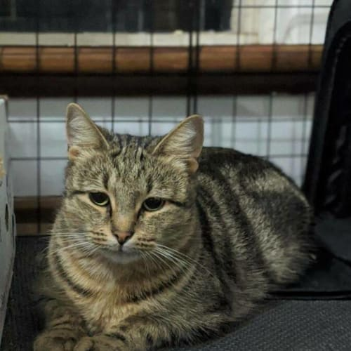 2704 - Cinnabon - Domestic Short Hair Cat