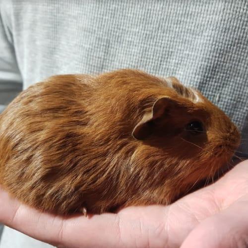 Amber  -  Guinea Pig