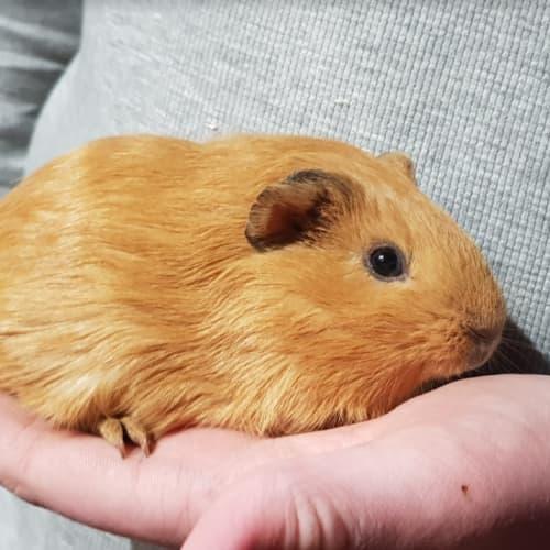Cutesy -  Guinea Pig