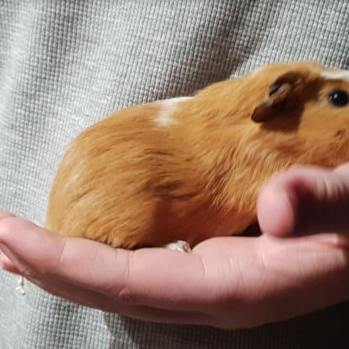 Halo -  Guinea Pig