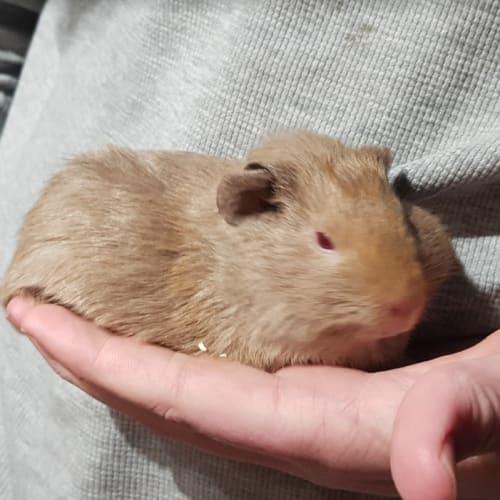 Ivorysilver -  Guinea Pig