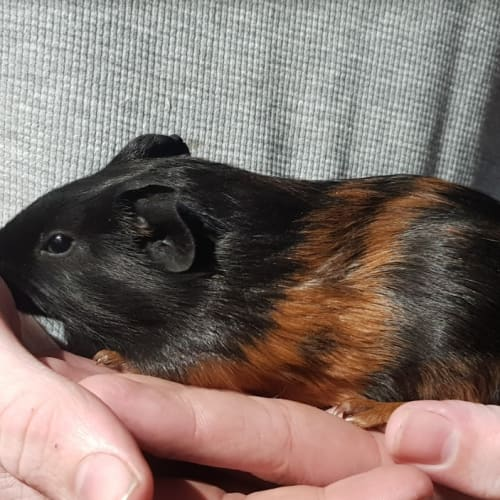 Liquorish -  Guinea Pig