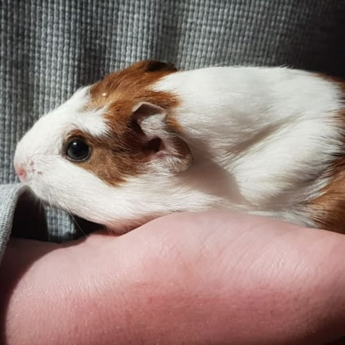 Mischief -  Guinea Pig