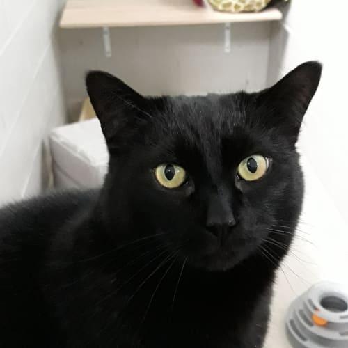 Kera - Domestic Short Hair Cat