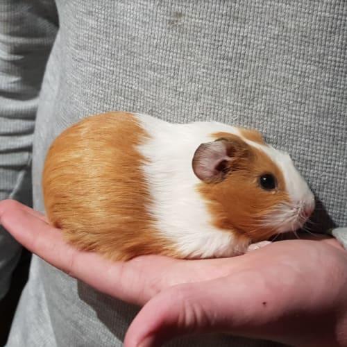 Peachpie -  Guinea Pig
