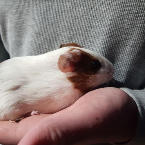 Peachy -  Guinea Pig