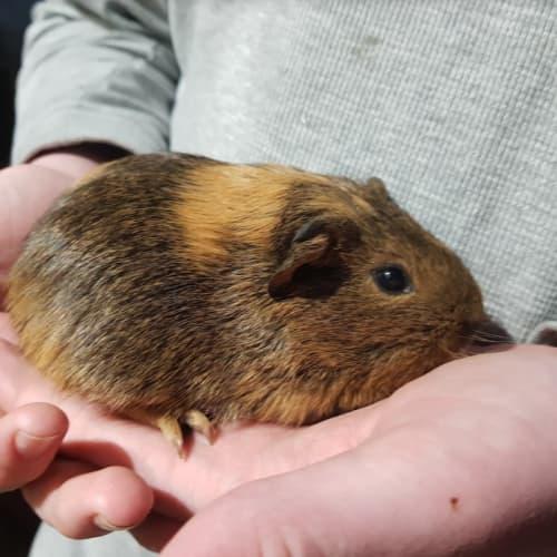 Socks -  Guinea Pig