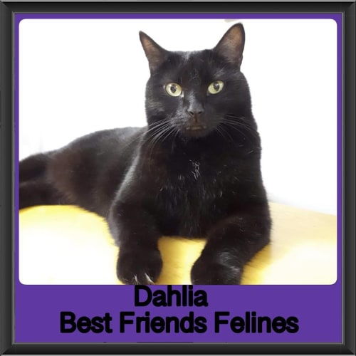 Dahlia  - Domestic Short Hair Cat
