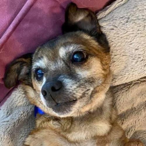 Sheba - Mixed Breed Dog