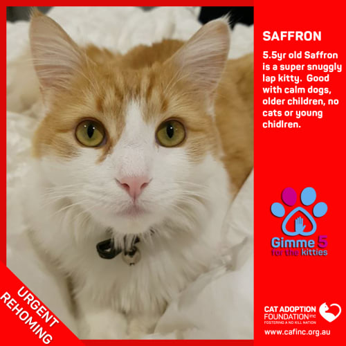 Saffron - Domestic Medium Hair Cat