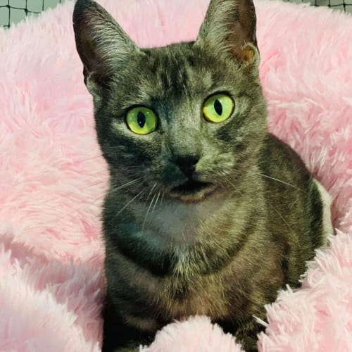 3007 - Esmerelda - Domestic Short Hair Cat