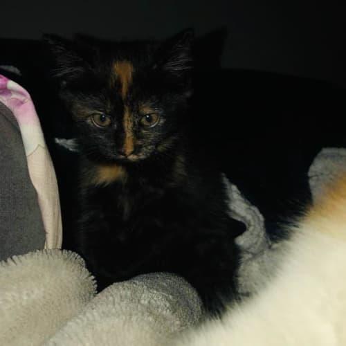 Rumble - Domestic Short Hair Cat