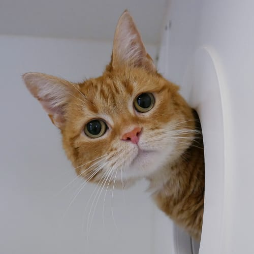 Charlie SUA005310 - Domestic Short Hair Cat