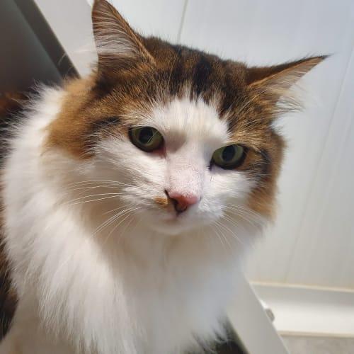 Mia - Domestic Medium Hair Cat
