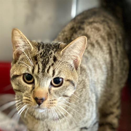 Otis - Domestic Short Hair Cat