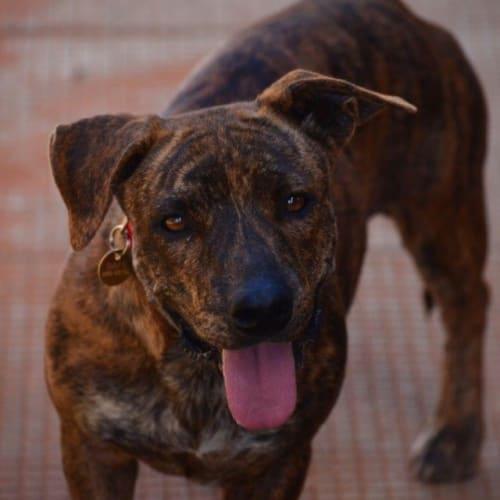 Yogi - Staffordshire Bull Terrier Dog