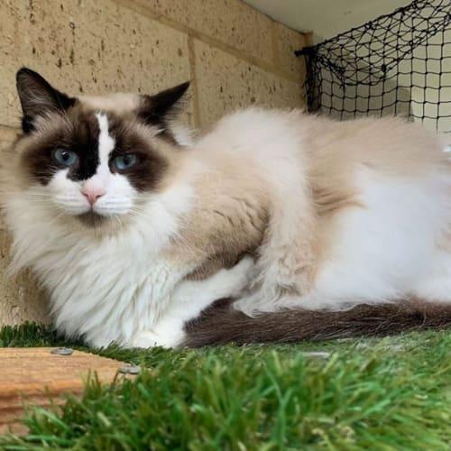 1254 – Astra - Ragdoll Cat