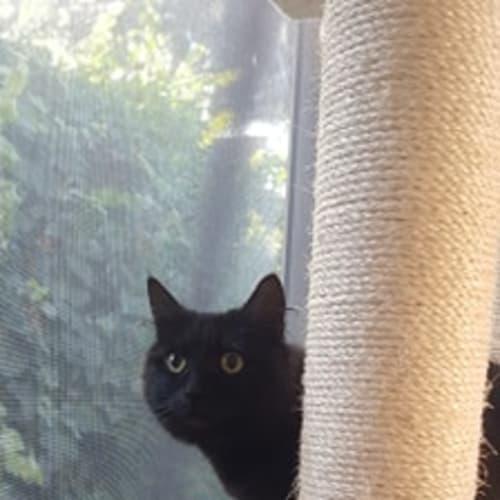 Olive - Located in Altona Meadows - Domestic Medium Hair Cat