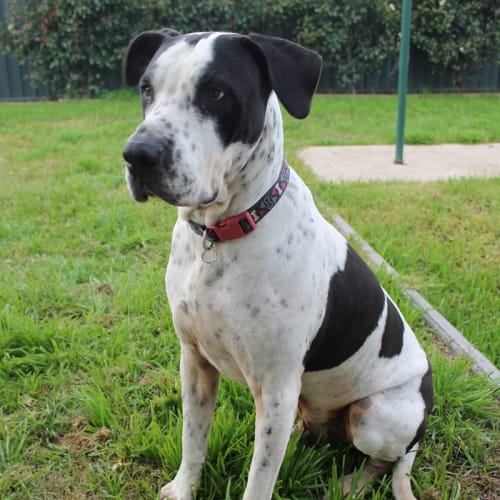 Sampson - Great Dane Dog